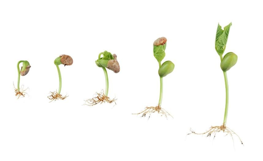 microgreens stages